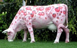 Stawberry flavoured producing cow